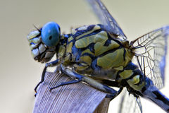 Black yellow dragonfly anax imperator Royalty Free Stock Image