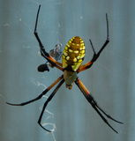 Black & Yellow Female Garden Spider. Female spider in web with a snack Royalty Free Stock Images