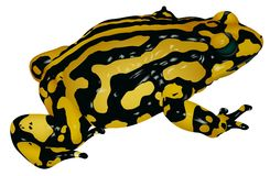 Black Yellow Frog Royalty Free Stock Image