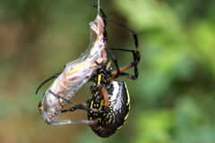 Black & Yellow Garden Spider Royalty Free Stock Image