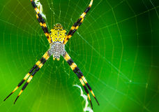 Black and Yellow Garden Spider Royalty Free Stock Photos