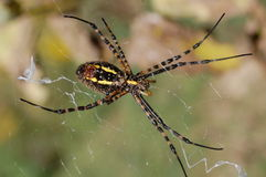 Black & Yellow garden spider Royalty Free Stock Photography