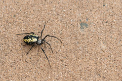 Black and Yellow Garden Spider (Argiope aurantia) Stock Photos