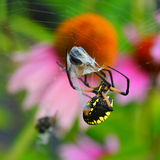 Black and yellow garden spider with bee Stock Photography