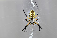 Black and Yellow Garden Spider Waits in the Sunshine. Royalty Free Stock Photography