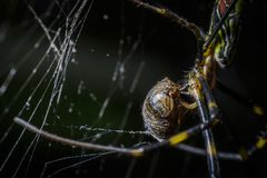 Black and yellow giant tiger spider eating its prey which is a bug. Close up and macro shot and good detail. royalty free stock photo