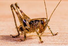 Black and Yellow Grasshopper Royalty Free Stock Images
