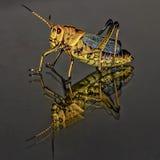 Black and Yellow Grasshopper Macro Stock Image