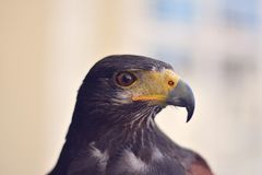 Black and Yellow Hawk Stock Photography