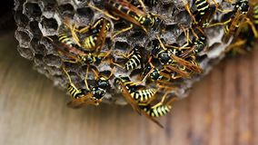 Black And Yellow Hornets Building Hive Nest stock footage