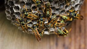 Black And Yellow Hornets Building Hive Nest stock video footage