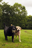 Black and Yellow Labradors. Black and yellow Labrador retrievers running to their owner after running after and fetching a ball that was thrown Stock Image