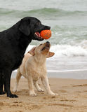 Black and yellow labradors playing with a ball Royalty Free Stock Images