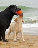 Black and yellow labradors playing with a ball Royalty Free Stock Image