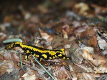 Black and Yellow Lizard Stock Image