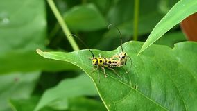 The Black and Yellow Longhorn Beetle in tropical rain forest. The Black and Yellow Longhorn Beetle Aristobia approximator is breeding on leaf in tropical rain stock video