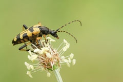 A Black and Yellow Longhorn Beetle Rutpela maculata formerly Strangalia maculata perched on a plant. Stock Photography