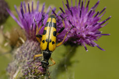 Black and Yellow Longhorn Beetle Stock Image
