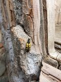 Black and yellow longhorn beetle on wooden surface Royalty Free Stock Photo