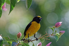 Black and yellow male Euphonia on pink Bougainvillea Stock Photos