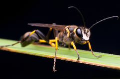 Black and Yellow Mud Dauber Royalty Free Stock Photography