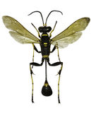 Black and Yellow Mud Dauber on white Background Royalty Free Stock Photography