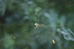 Black and Yellow Orb Weaver Spider Royalty Free Stock Photo