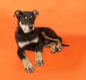 Black and yellow puppy lying on orange Stock Photography