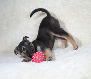 Black and yellow puppy playing on white sofa Stock Photos