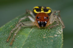 Black, yellow and red crab spider Royalty Free Stock Photos