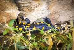 Salamander lizard in wild Stock Images
