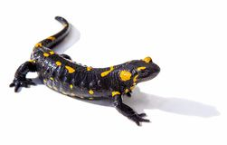 Salamander lizard on white background royalty free stock photography