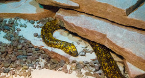 Black and yellow snake. This snake has a beautiful black and yellow skin royalty free stock image