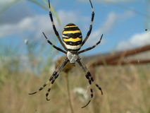 Black and yellow spider. A beautiful spider on its cobweb. An Argiope Bruennichi in Livorno (Leghorn Royalty Free Stock Images