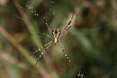 Black and yellow spider, underside Royalty Free Stock Photography