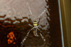 Black and yellow spider. On web Royalty Free Stock Images