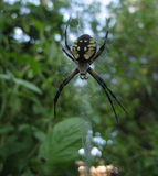 Black and Yellow Spider. A black and yellow spider on a spider web Royalty Free Stock Photography