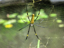 Black and yellow spider in web. Black and yellow spider with skull head in his web Royalty Free Stock Image