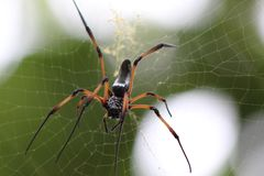 Black and yellow spider on web royalty free stock image