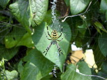 Black-yellow spider. Webbing in the garden Royalty Free Stock Photos