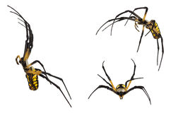 Black and yellow spider on white. Stock Photos