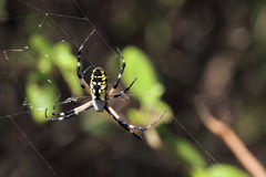 Black and Yellow Spider Stock Photos