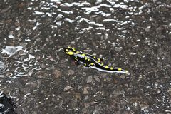 Black yellow spotted fire salamander royalty free stock images