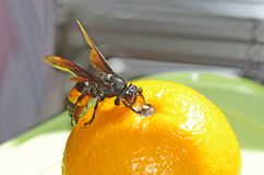 Black and yellow stripe hornet Stock Image
