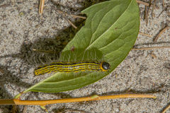 Black and Yellow Striped Caterpillar on Leaf Stock Photo