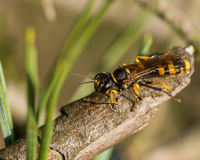 Black and yellow striped insect Royalty Free Stock Photo
