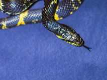 Black and Yellow striped snake on dark-blue background Royalty Free Stock Photography