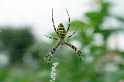 Black and yellow striped spider on the web. Stock Photos