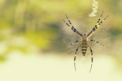 Black and yellow striped spider on the web. Stock Photography