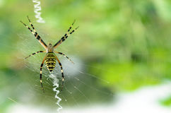 Black and yellow striped spider on the web. Royalty Free Stock Photography